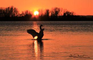 Dancing Queen, Sunset Over Swan Lake Soderica, Podravina, Croatia; Rasplesana Kraljica, Zalazak Sunca Na Labuđem Jezeru Šoderica, Podravina, Hrvatska