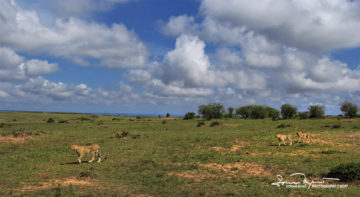 Cheetahs - Fast and Furious, Masai Mara, Kenya