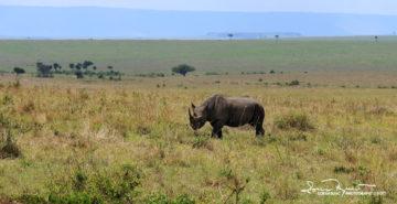Lonely Rhinoceros Wandering Around, Masai Mara, Kenya