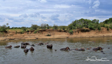 Rocks or More Than One Ton Heavy Hippos?, Mara River, Masai Mara, Kenya
