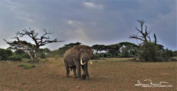 Fearless Alpha Male, Amboseli, Kenya