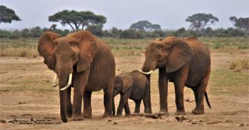 Protective Females, Amboseli, Kenya