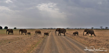 Just an Elephant Family Crossing the Road, Who is on the Main Road, or Who is Main on the Road?, Amboseli, Kenya