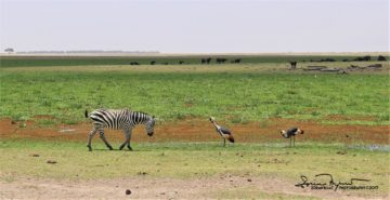 Typical Africa - Zebra, Grey Crowned Cranes and Bunch of Buffalos in the Same Cadre, Amboseli, Kenya