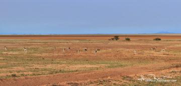 Thomson's Gazelles with Characteristic Black Line Across the Flanks, Amboseli, Kenya