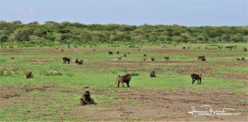 Monkey Field, Lake Manyara, Tanzania