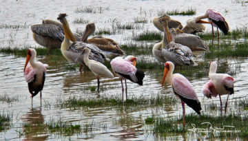 Not as Pretty as Flamingos, but Still Interesting, Lake Manyara, Tanzania