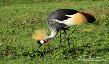 The Grey Crowned Crane, National Bird of Uganda, Ngorongoro, Tanzania