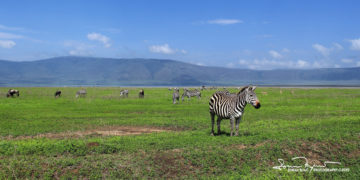 Always Aware of the Possible Danger, Ngorongoro, Tanzania