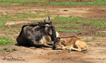Mother and Baby Wildebeest Born Just a Couple of Days Ago, Ngorongoro, Tanzania