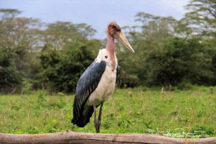 Always Charming Marabou Stork, Ngorongoro, Tanzania