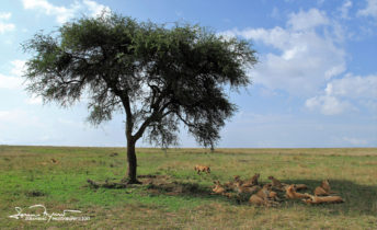 Powerful Group of 23 Lions, Females and Youngsters, Serengeti, Tanzania