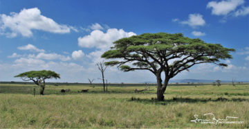Umbrella Trees (Different Types of Acacia), Usual Landscape in African Savanna, Serengeti, Tanzania