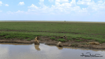 Hyenas on Afternoon Relaxation and Cooling, Serengeti, Tanzania