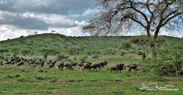 Wildebeests in Usual Stampede, Serengeti, Tanzania