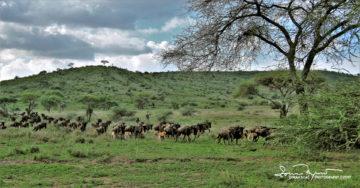 Wildebeests in Usual Stampede, Serengeti, Tanzania