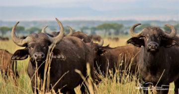 Curious Buffalos, Serengeti, Tanzania