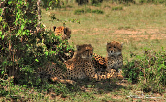 Cheetah Family Chilling in the Shadow, Masai Mara, Kenya