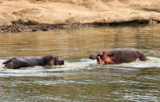 Hippos, Africa's Most Dangerous Animals, Fighting Over a Territory, Masai Mara, Kenya