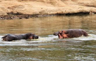 Hippos, Africa's Most Dangerous Animals, Fighting Over a Territory, Masai Mara, Kenya
