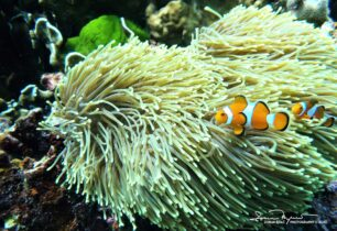 Clown Fish Nemo - Always Close to a Safe House, Thailand