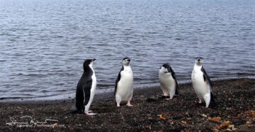 Council of Sages, The Group of Chinstrap Penguins Inside the Volcanic Caldera, Antarctica,