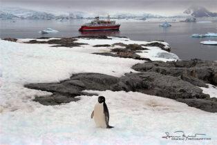 Curious Adelie Penguin, Antarctica