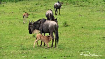 Mommy, I'm Hungry! Feeding the Young Wildebeest, Ngorongoro, Tanzania