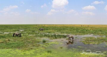 Paradise for Zebras, Amboseli, Kenya