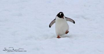 Short Legs, Funny Gentoo Penguin, Antarctica